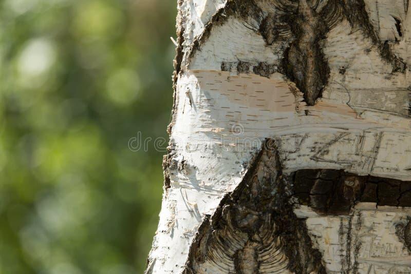 从桦树吠声的背景本质上 免版税图库摄影