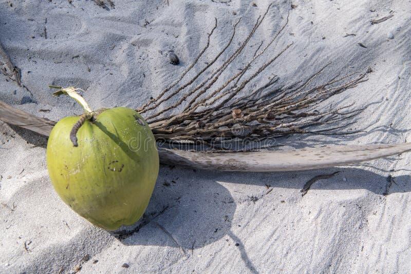 从棕榈树下落的新鲜的椰子 免版税库存照片