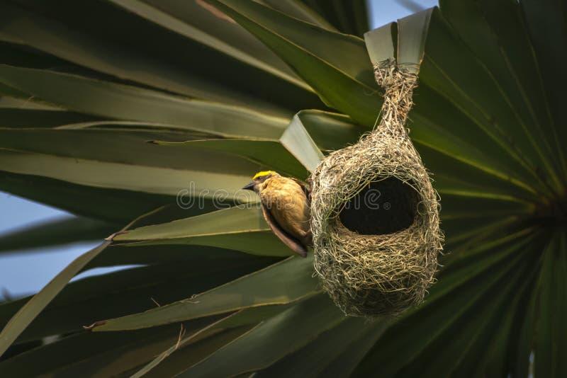 从棕榈树暂停的baya织布工殖民地的巢,印度 库存图片