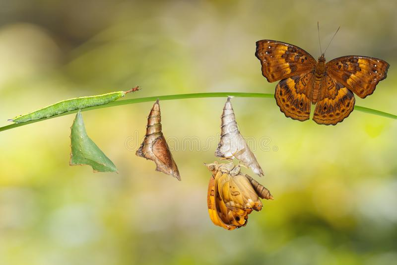 从棕色王子Bu毛虫和蝶蛹的变革  免版税图库摄影