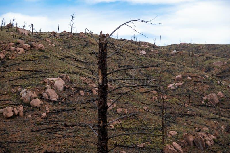 从森林火灾的被烧的树 免版税图库摄影