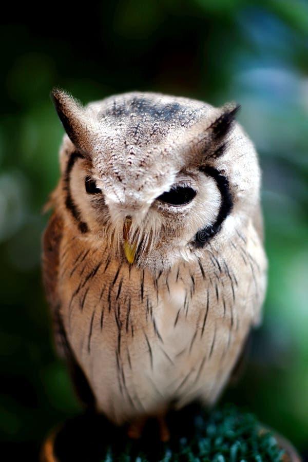 从森林的猫头鹰在泰国 免版税图库摄影