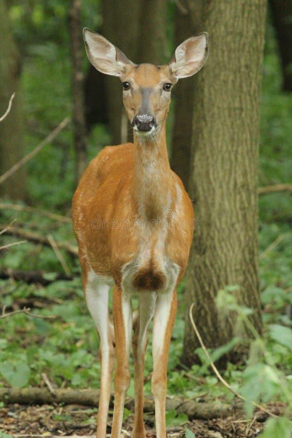 从森林的白尾鹿手表 免版税库存图片