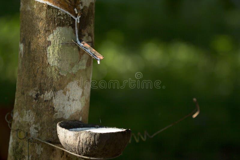 从橡胶树三叶胶提取的乳汁Brasiliensis作为天然橡胶,从树的天然橡胶的来源在杯子 免版税库存照片