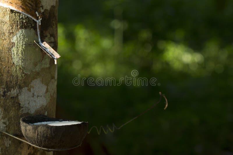 从橡胶树三叶胶提取的乳汁Brasiliensis作为天然橡胶,从树的天然橡胶的来源在杯子 免版税库存图片