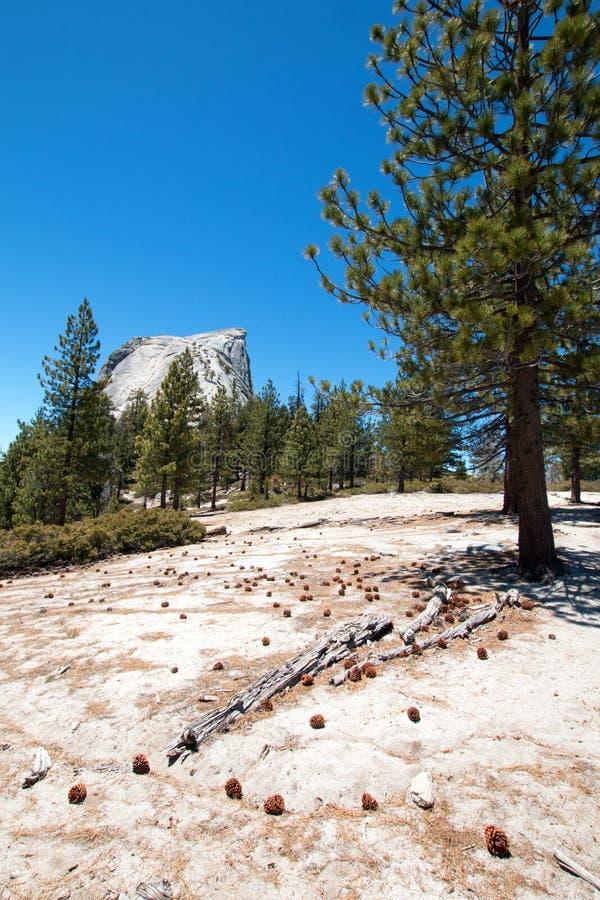 从次级圆顶杉木锥体被撒布的基地看的半圆顶岩层在优胜美地国家公园在加利福尼亚美国 库存照片