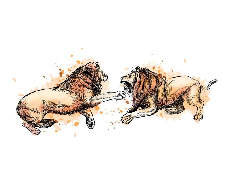 从水彩,手拉的剪影飞溅的两头战斗的狮子  库存例证