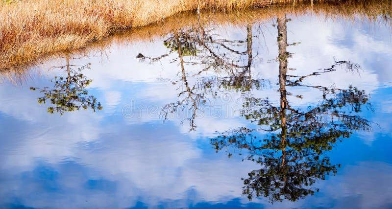 从沼泽湖的杉木反射 免版税库存图片