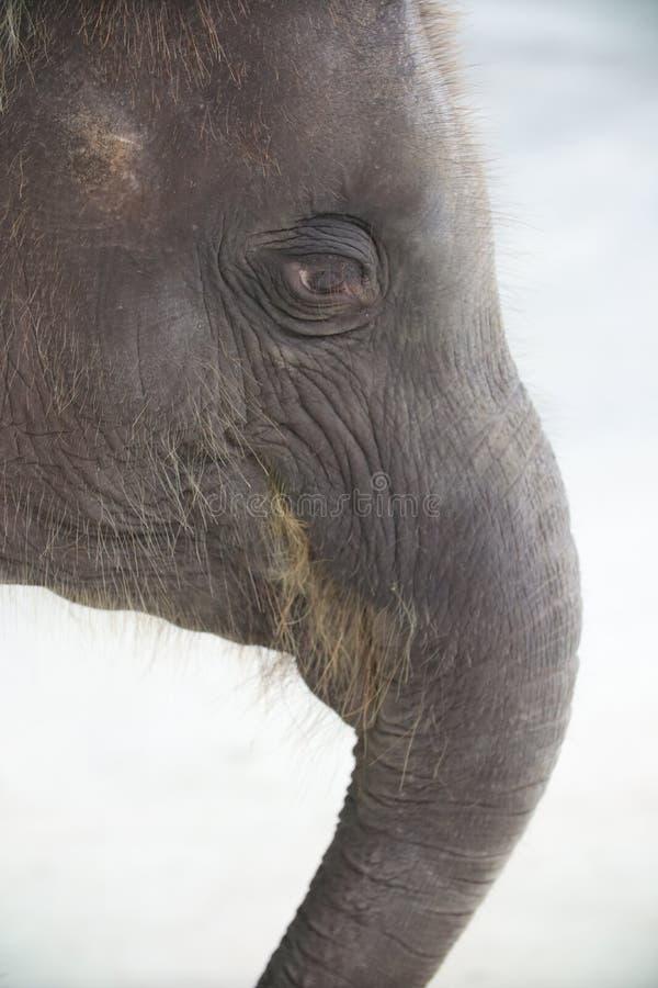 从泰国的大象眼睛 库存图片