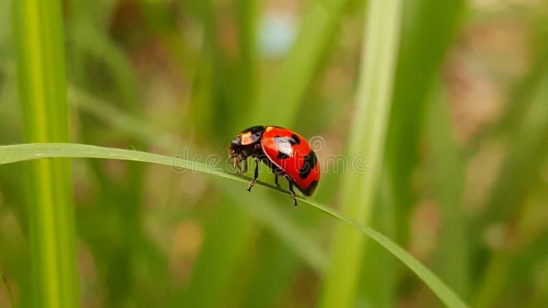 从泰国的美妙的瓢虫 免版税库存照片