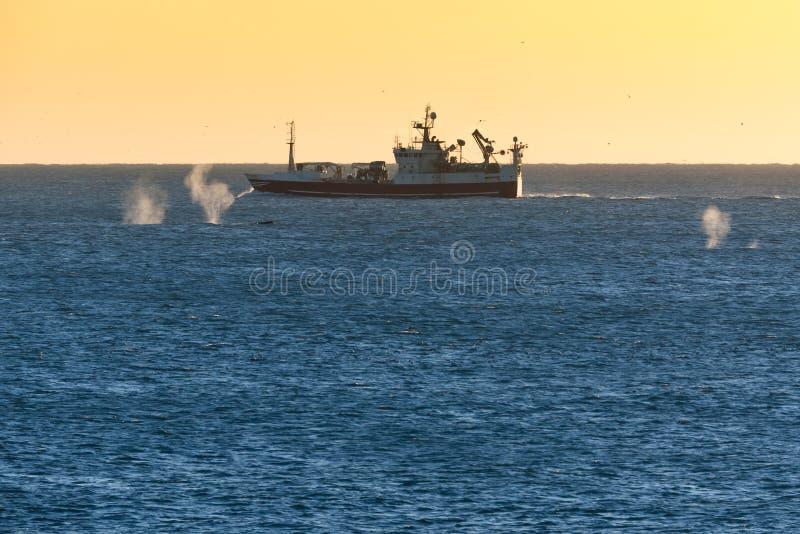 从游泳在渔船附近的鲸鱼喷洒在冰岛 库存图片