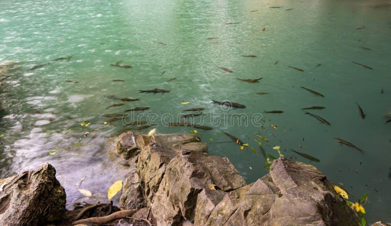 从瀑布的鲜绿色水,鱼住在池塘,爱侣湾瀑布,北碧省,泰国 免版税库存图片
