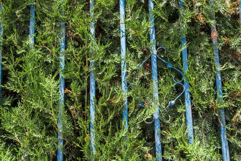 从灌木的篱芭 库存图片