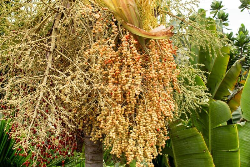 从热带棕榈树上悬垂的花穗 免版税库存照片