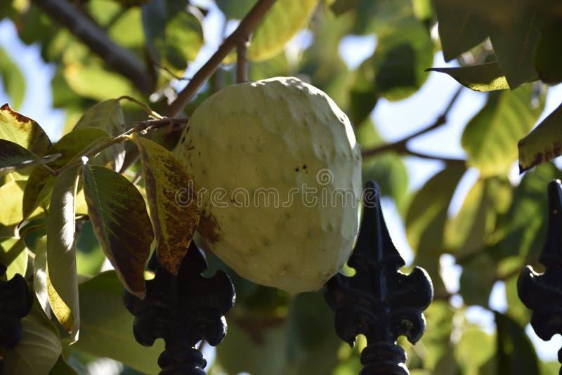 从热带海岸格拉纳达的果树园的毛叶番荔枝 图库摄影