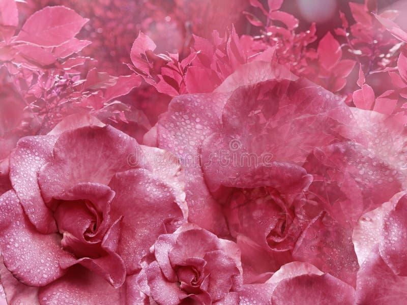 从玫瑰的花卉桃红色背景 背景构成旋花植物空白花的郁金香 与水滴的花在瓣 特写镜头 库存照片