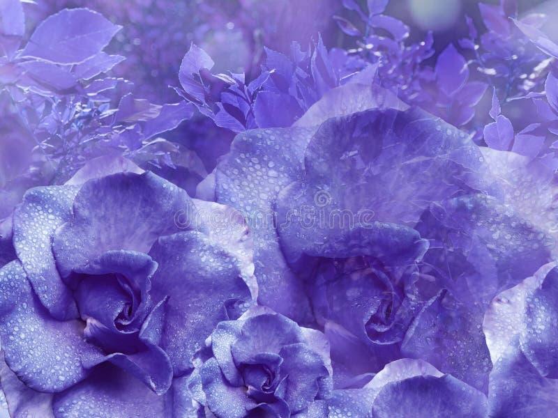从玫瑰的花卉紫色背景 背景构成旋花植物空白花的郁金香 与水滴的花在瓣 特写镜头 库存图片