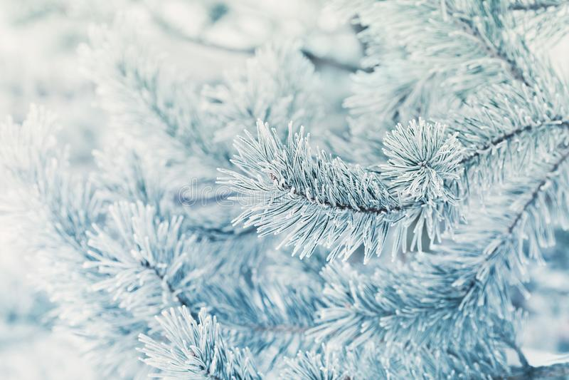 从用树冰、霜或者霜盖的杉树的凉快的冬天背景在自然一个多雪的森林可爱的风景  图库摄影