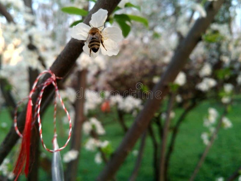 从白樱花上绑着白红三字串的蜜蜂特写 图库摄影