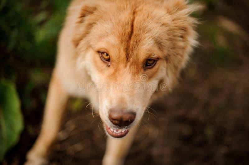从看在路的姜狗上的看法照相机 免版税库存照片