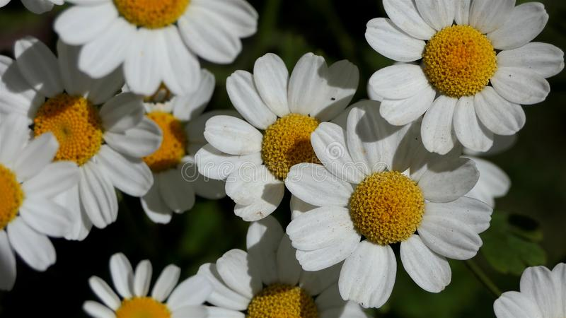 从看法的宏观春黄菊花 E 自然背景花田,在黑色隔绝的白花 库存照片