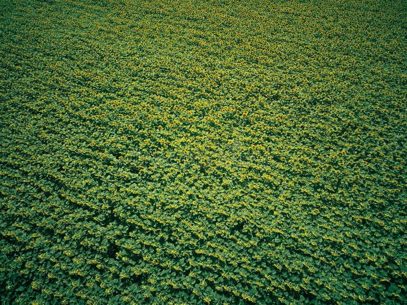 从空气的向日葵领域 库存照片