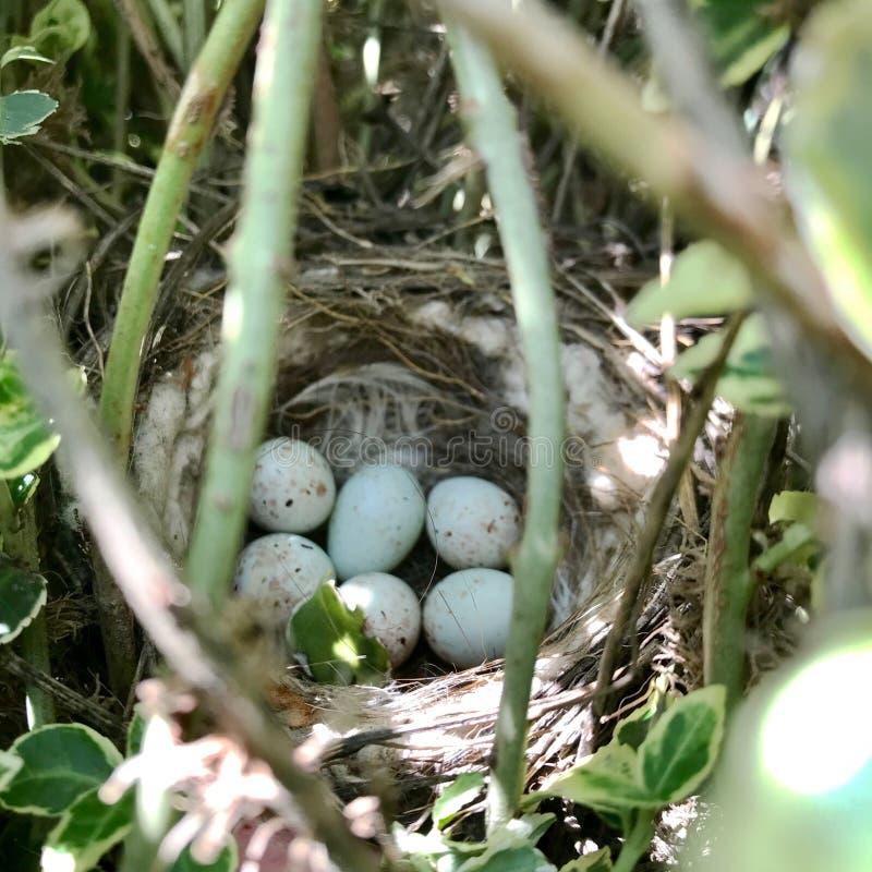 从等待他们的巢的卵形强的壳的鸡蛋母亲 库存照片