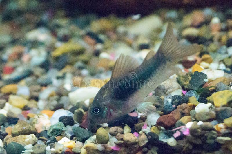 从类Corydoras的鲶鱼 免版税库存图片