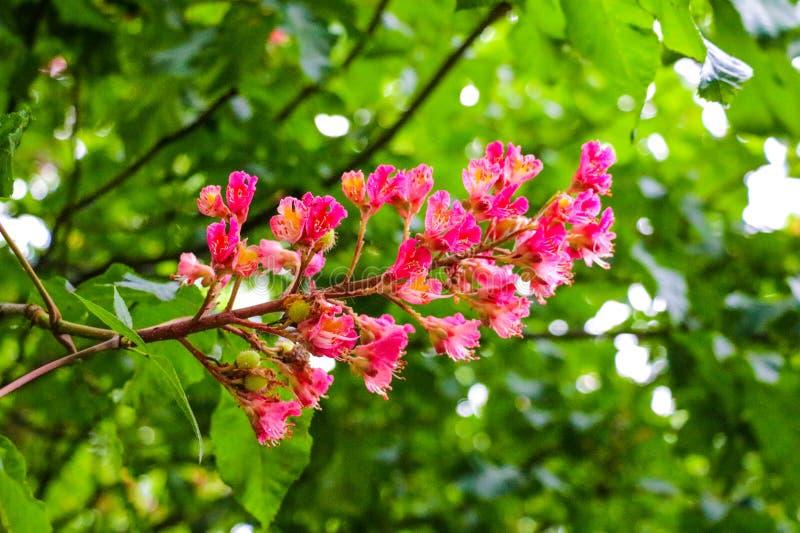 从绉绸桃金娘树的桃红色花 库存照片