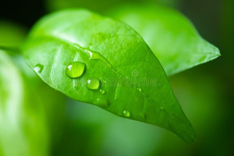 从绿色狂放的水李子叶子的水下落 免版税库存图片