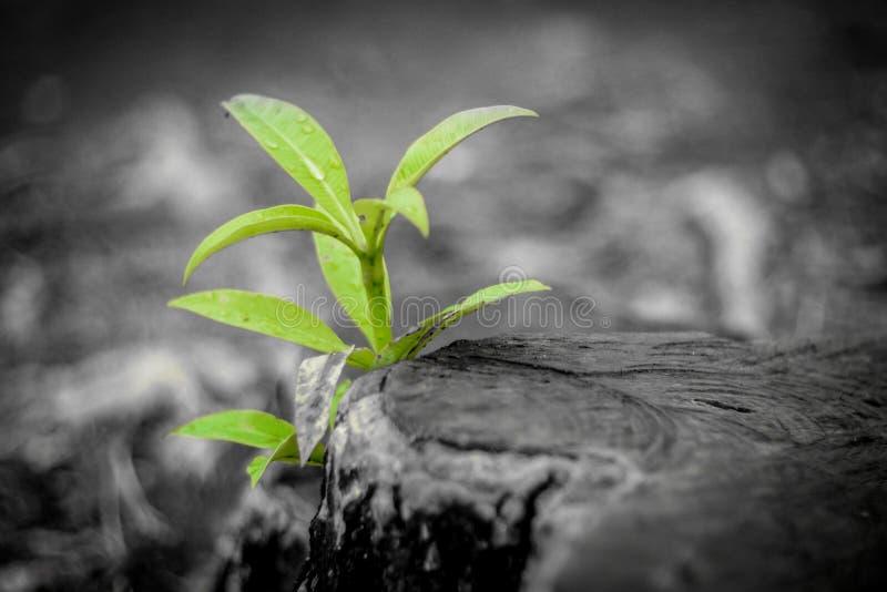 从老概念的新的成长 生长新的新芽或幼木的被回收的树桩 与温暖的灰色纹理和圆环的年迈的老日志 免版税库存照片