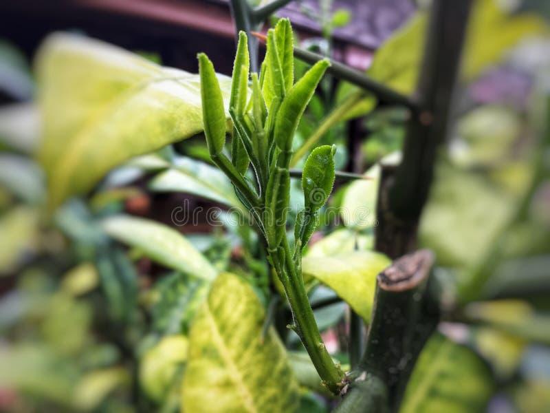 从肢体的新鲜的绿色非洲黑人石灰树苗新芽 免版税图库摄影