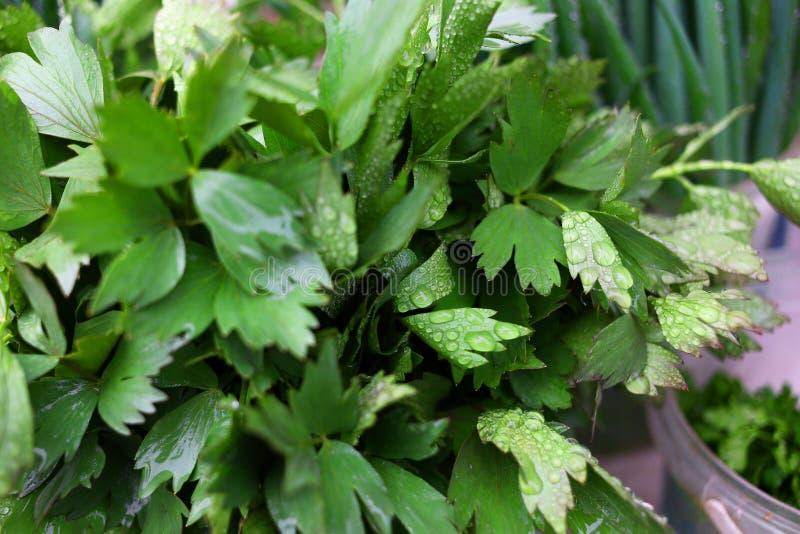 从自己的庭院的绿色新鲜的荷兰芹 库存照片