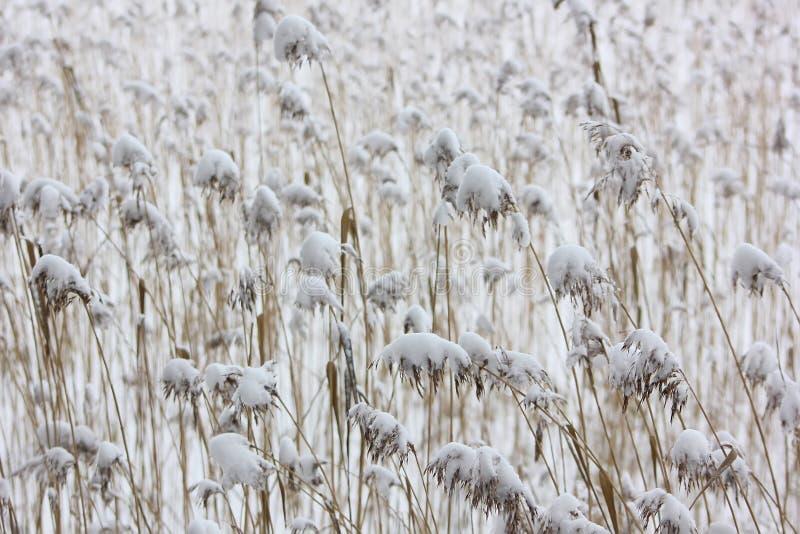从芦苇和雪的平静的中立背景 免版税库存照片