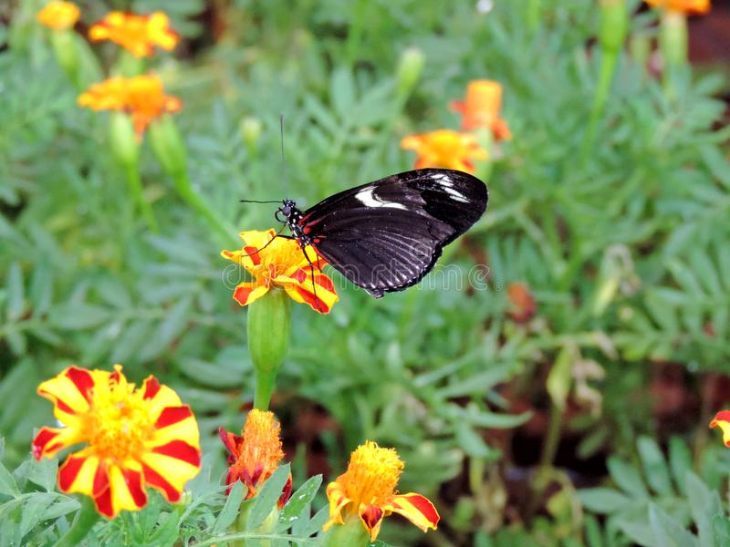 从花的Heliconius多丽丝蝴蝶哺养的花蜜在迪拜蝴蝶庭院里面 库存照片