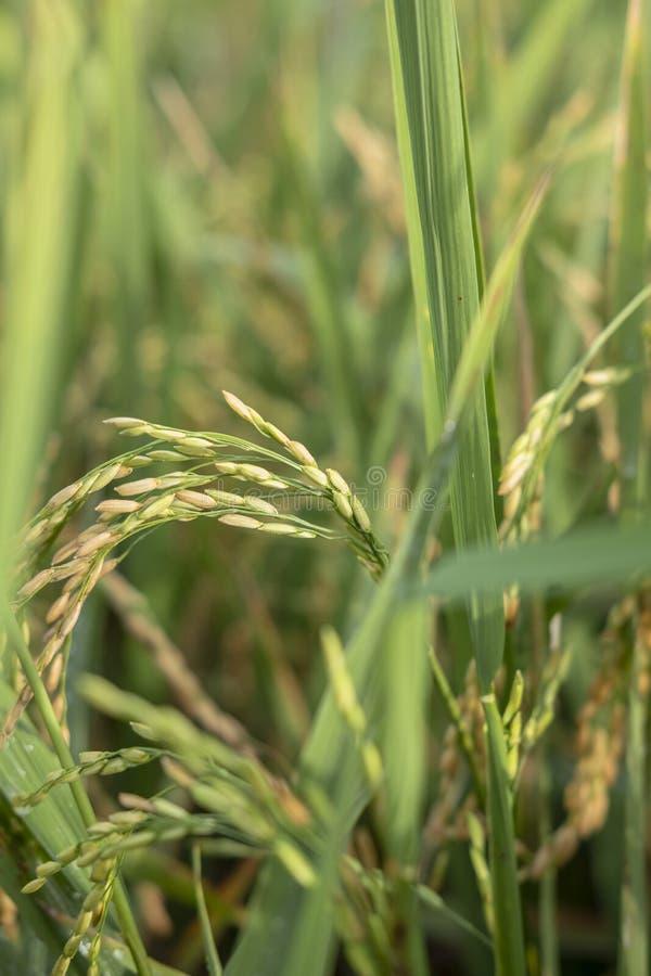 从苏科哈焦的新鲜的绿色稻 库存图片