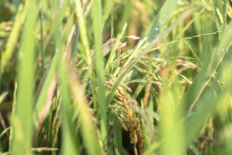 从苏科哈焦的新鲜的绿色稻 免版税库存图片