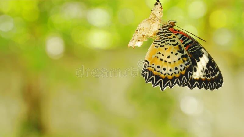 从茧的蝴蝶变形和准备对飞行在铝晾衣绳在庭院里 库存照片