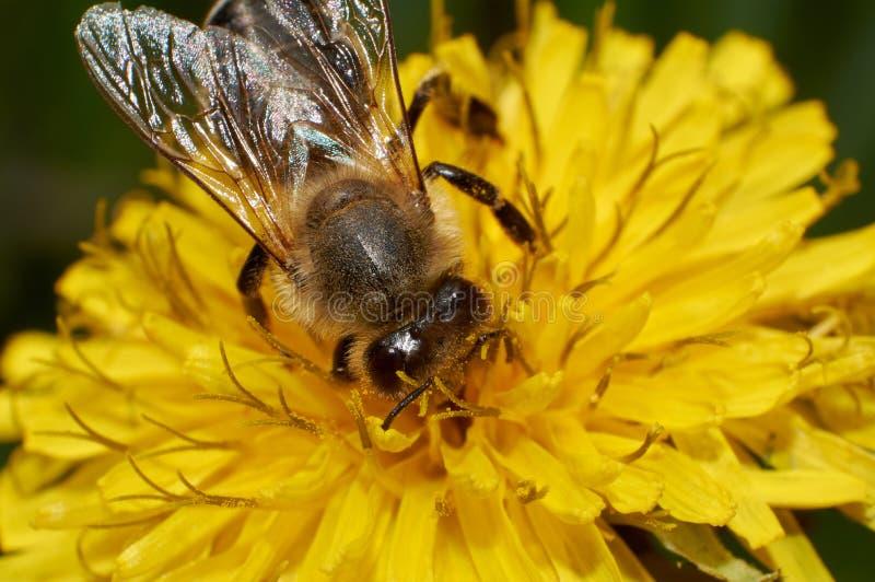 从蒲公英或蒲公英officinale花的狂放的蜂colletcs花粉在春天 免版税图库摄影