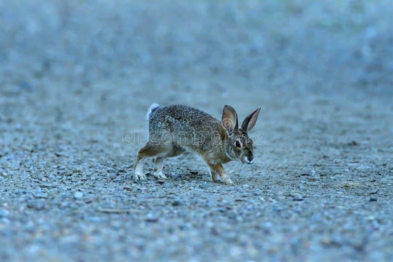 从蛇麻草登陆的少年兔子 免版税库存图片