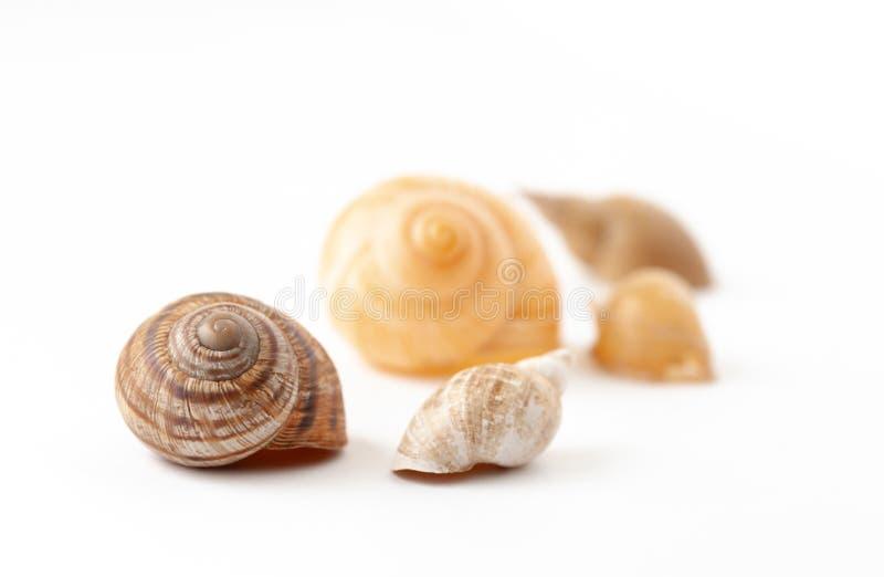 从蜗牛的河壳在白色背景 免版税库存图片