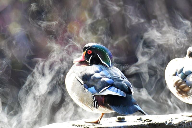 从被温暖的委员会的林鸳鸯蒸气由阳光 库存照片