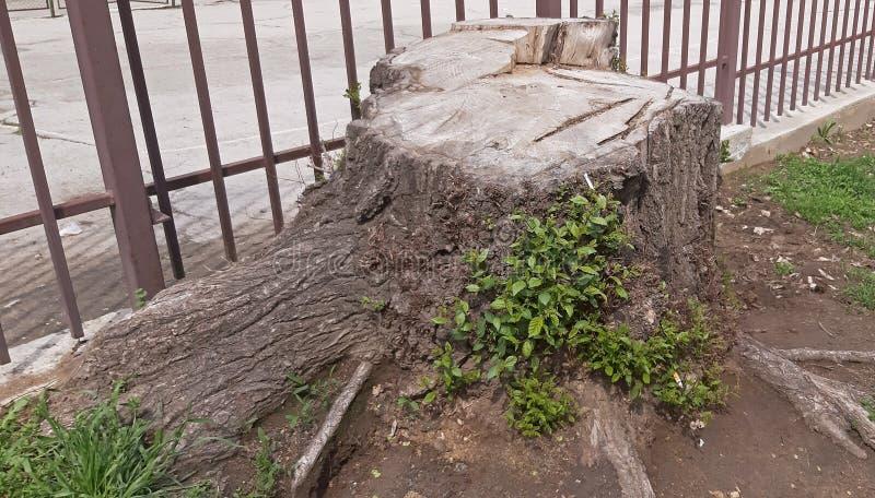 从词根砍的大树 免版税库存图片