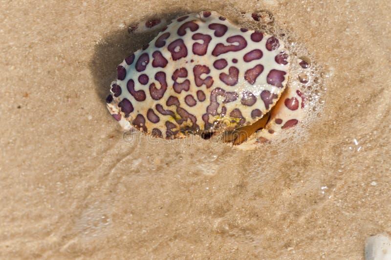 从赤潮的五颜六色的螃蟹死者在热带水中 免版税库存照片