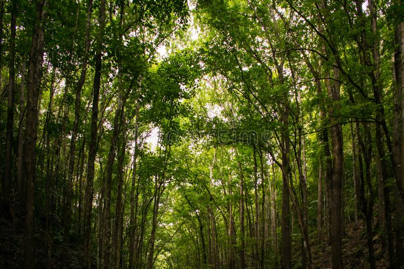 从路的反面的高大的树木有它的见面在中心的树干的 库存照片