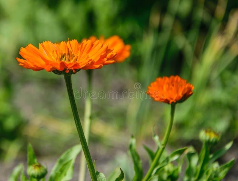 从边射击的橙色万寿菊花在明媚的阳光下 开花的万寿菊花 E 免版税库存图片