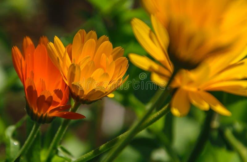 从边射击的橙色金盏草花反对太阳 免版税图库摄影