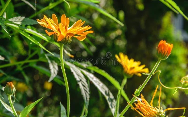 从边射击的橙色金盏草花反对太阳 免版税库存图片
