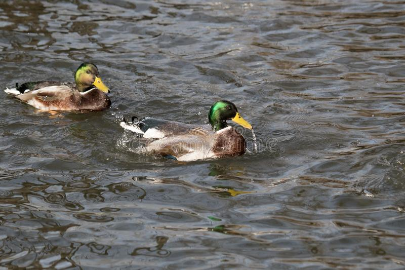 从野鸭鸭子的水水滴,他在池塘游泳 免版税库存照片