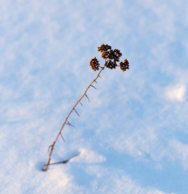 从雪下面的草在日落 库存图片